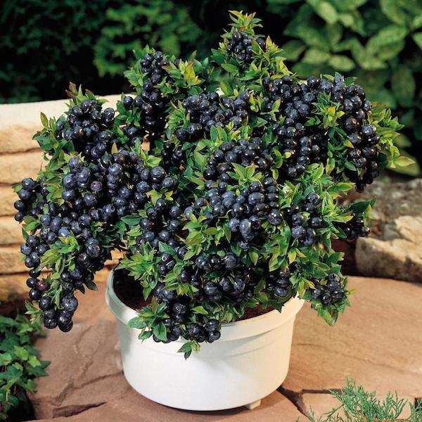 grow your own organic blueberries