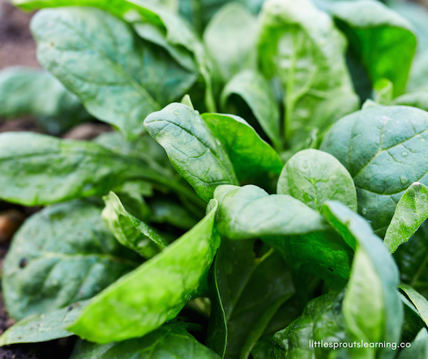 How To Grow Your Own Spinach