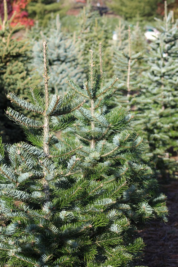 Before you rush out and drop $100+ on a plastic tree, read these 5 reasons why you should buy a real Christmas tree. I bet they'll change your mind!